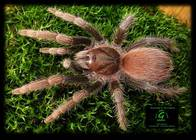 Acanthoscurria antillensis. title=