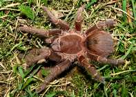 Acanthoscurria sp. Chapare