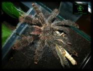 Avicularia sp. Rurrenabaque. title=