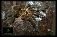 harpactira pulchripes. title=
