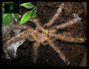 poecilotheria subfusca lowland. title=